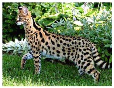 kucing sabana